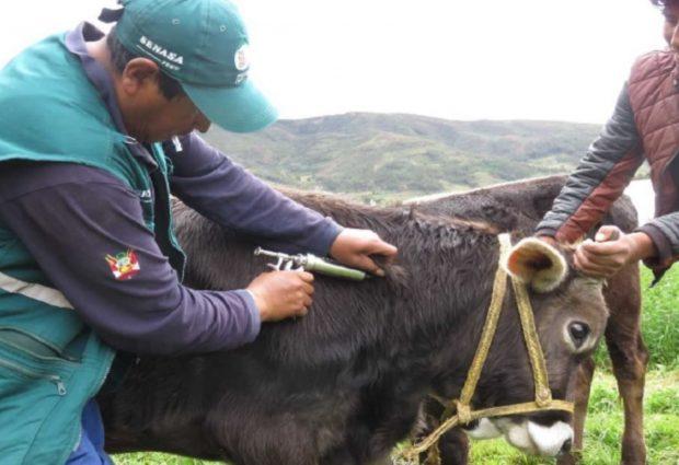 Regional:vacunan a más de 11 mil bovinos contra el carbunco sintomático
