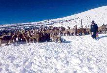 NACIONAL :Miles de camélidos mueren por nevadas en regiones del sur