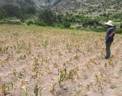 REGIONAL:Heladas y ausencia de lluvias causan daños irrecuperables en cultivos de Cusco